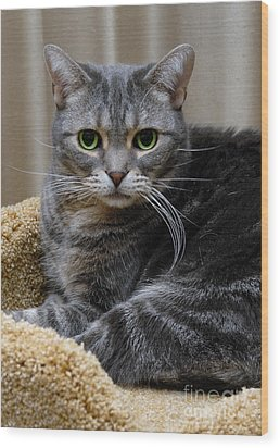 American Shorthair Cat Portrait Wood Print by Amy Cicconi