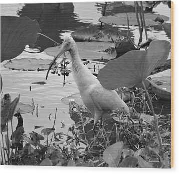 American White Ibis Black And White Wood Print