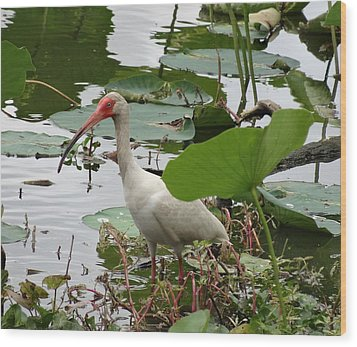 American White Ibis In Brazos Bend Wood Print