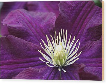 Amethyst Colored Clematis Wood Print by Kay Novy