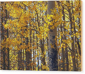 Among The Aspen Trees In Fall Wood Print by Amy McDaniel