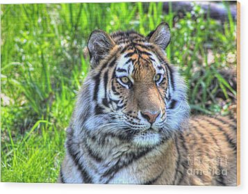 Amur Tiger 6 Wood Print by Jimmy Ostgard