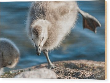 An Acrobatic Goose Wood Print by Janne Mankinen