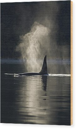 An Orca Whale Exhales Blows Wood Print by John Hyde