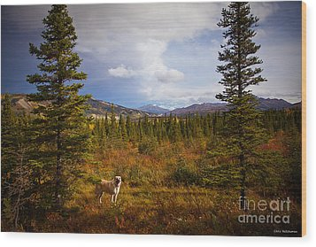 Anatolian Shepherd Wood Print by Chris Heitstuman