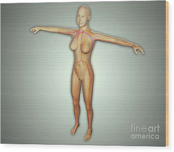 Anatomy Of Female Body With Arteries Wood Print by Stocktrek Images