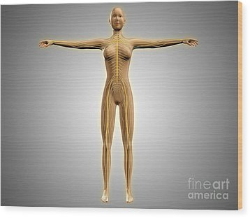 Anatomy Of Female Body With Nervous Wood Print by Stocktrek Images