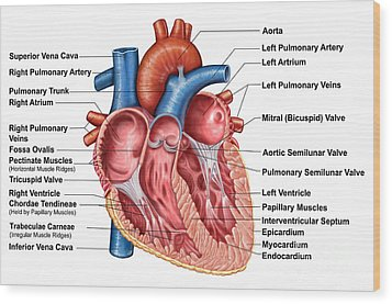 Anatomy Of Heart Interior, Frontal Wood Print by Stocktrek Images