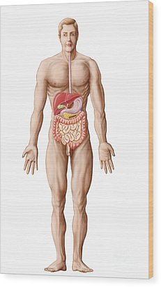 Anatomy Of Human Digestive System, Male Wood Print by Stocktrek Images
