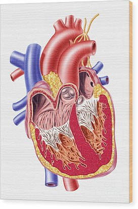 Anatomy Of Human Heart, Cross Section Wood Print by Leonello Calvetti