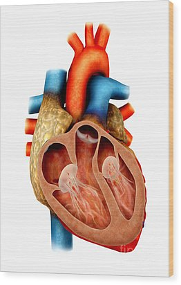 Anatomy Of Human Heart, Cross Section Wood Print by Stocktrek Images