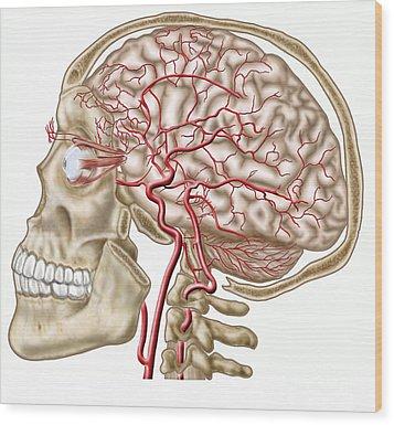 Anatomy Of Human Skull, Eyeball Wood Print by Stocktrek Images