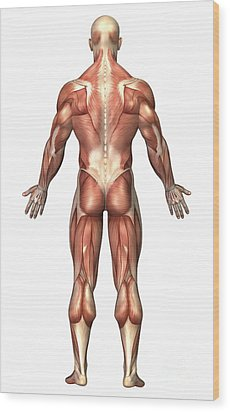 Anatomy Of Male Muscular System, Back Wood Print by Stocktrek Images