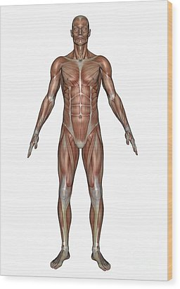 Anatomy Of Male Muscular System, Front Wood Print by Elena Duvernay