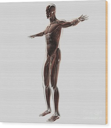 Anatomy Of Male Muscular System, Side Wood Print by Stocktrek Images