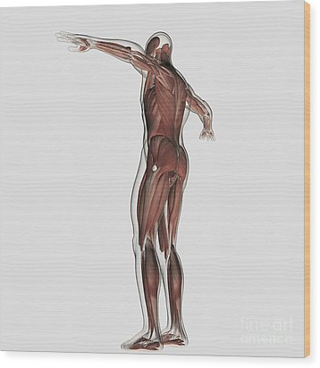 Anatomy Of Male Muscular System Wood Print by Stocktrek Images