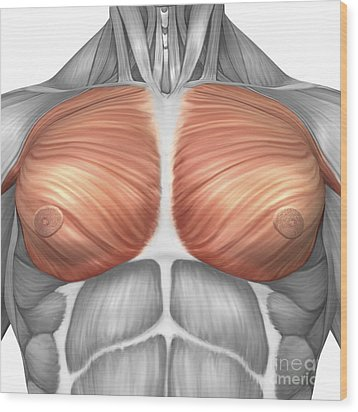Anatomy Of Male Pectoral Muscles Wood Print by Stocktrek Images