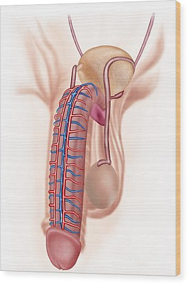 Anatomy Of Male Reproductive Organs Wood Print by Stocktrek Images