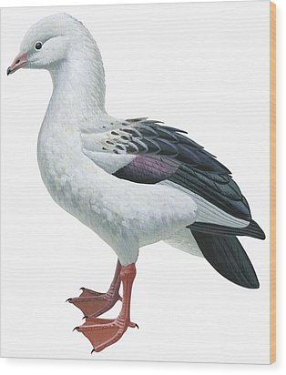 Andean Goose Wood Print by Anonymous