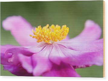 Anemone Flower Close Up Wood Print by Natalie Kinnear