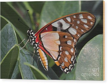 Angola White Lady Butterfly Wood Print