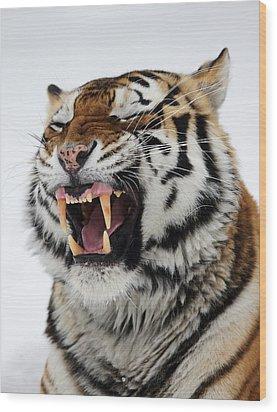 Angry Siberian Tiger Portrait Wood Print by Alex Sukonkin