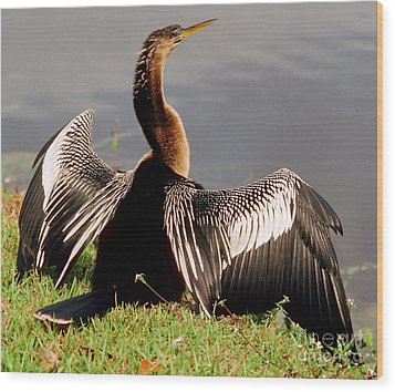 Anhinga Anhinga Anhinga Drying Plumage Wood Print by Millard H. Sharp