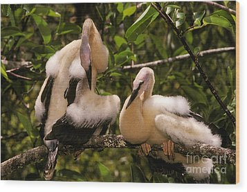 Anhinga Chicks Wood Print by Ron Sanford
