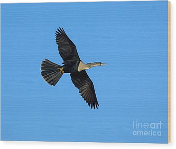 Anhinga Female Flying Wood Print by Anthony Mercieca