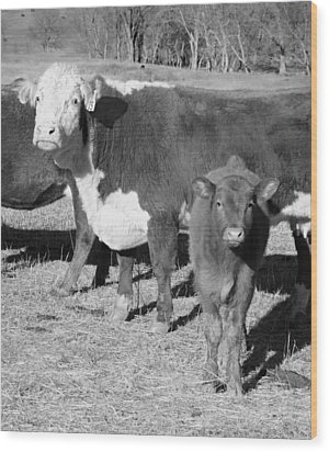 Animals Cows The Curious Calf Black And White Photography Wood Print by Ann Powell