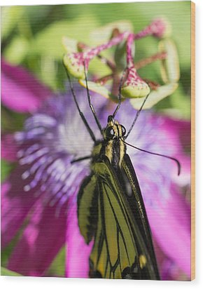Anise Swallowtail Butterfly And Passionflower Wood Print by Priya Ghose