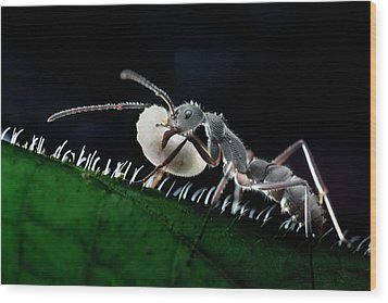 Ant Carrying Larva Wood Print by Melvyn Yeo
