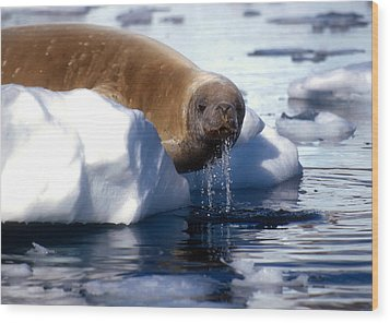 Wood Print featuring the photograph Antarctic Crabeater Seal by Dennis Cox WorldViews