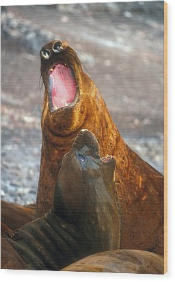 Wood Print featuring the photograph Antarctic Elephant Seals by Dennis Cox WorldViews