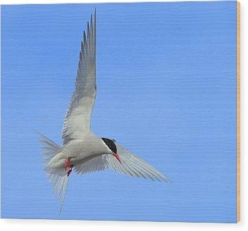 Antarctic Tern Wood Print by Tony Beck