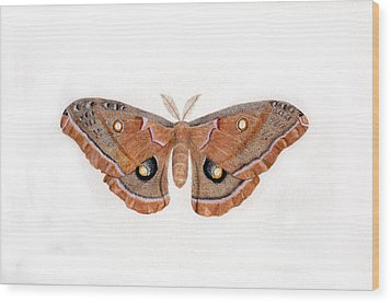 Antheraea Polyphemus Wood Print by Inger Hutton
