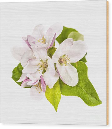 Apple Blossom Wood Print by Elena Elisseeva