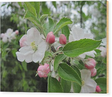 Apple Blossoms And Buds Wood Print by Patricia E Sundik