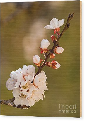 Apricot Blossom At Sunrise Wood Print