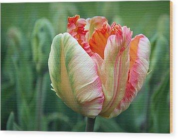 Apricot Parrot Tulip Wood Print