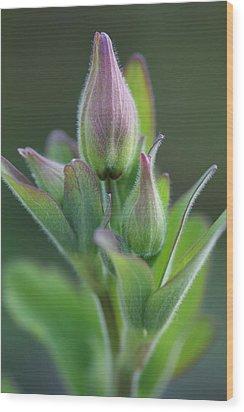 Aquilegia In Bud Wood Print by Mark Severn