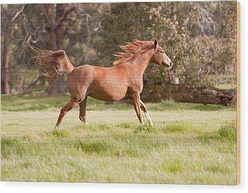 Arabian Horse Running Free Wood Print by Michelle Wrighton