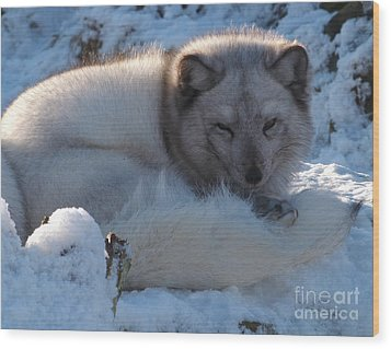 Arctic Fox - Winter Coat Wood Print