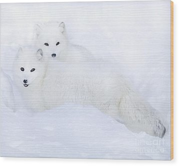 Arctic Foxes In The Snow Wood Print
