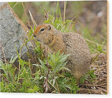 Arctic Ground Squirrel Wood Print by Brian Magnier