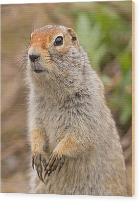 Arctic Ground Squirrel Close-up Wood Print by Brian Magnier