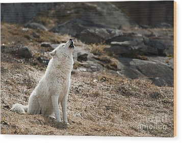 Wood Print featuring the photograph Arctic Wolf Howling by Wolves Only