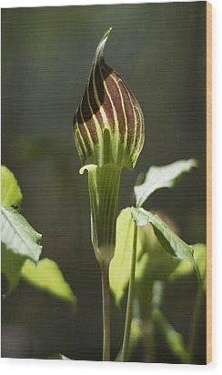 Wood Print featuring the photograph Arisaema Triphyllum Jack-in-the-pulpit by Rebecca Sherman