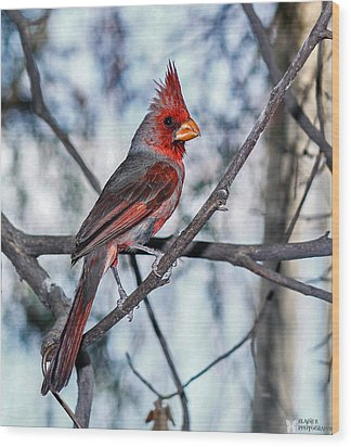 Arizona Cardinal Wood Print by Elaine Malott