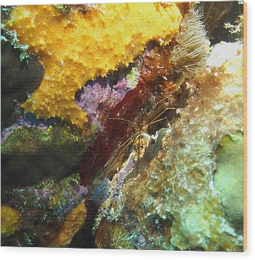 Wood Print featuring the photograph Arrow Crab In A Rainbow Of Coral by Amy McDaniel